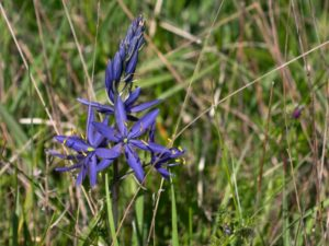 Camassia quamash in bloom