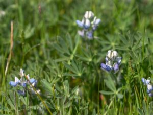 Lupinus bicolor growing among grasses