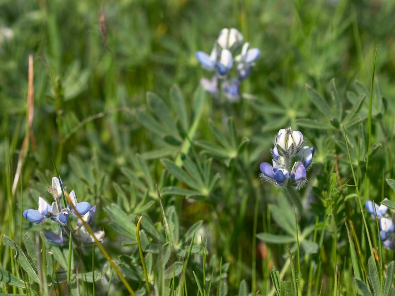 <i>Lupinus bicolor</i> growing among grasses