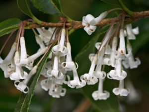 Close-up of Osmanthus suavis flowers