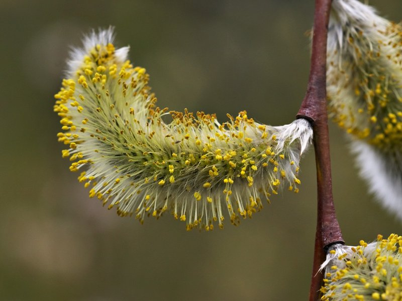 Male catkin of <i>Salix acutifolia</i> 'Blue Streak'
