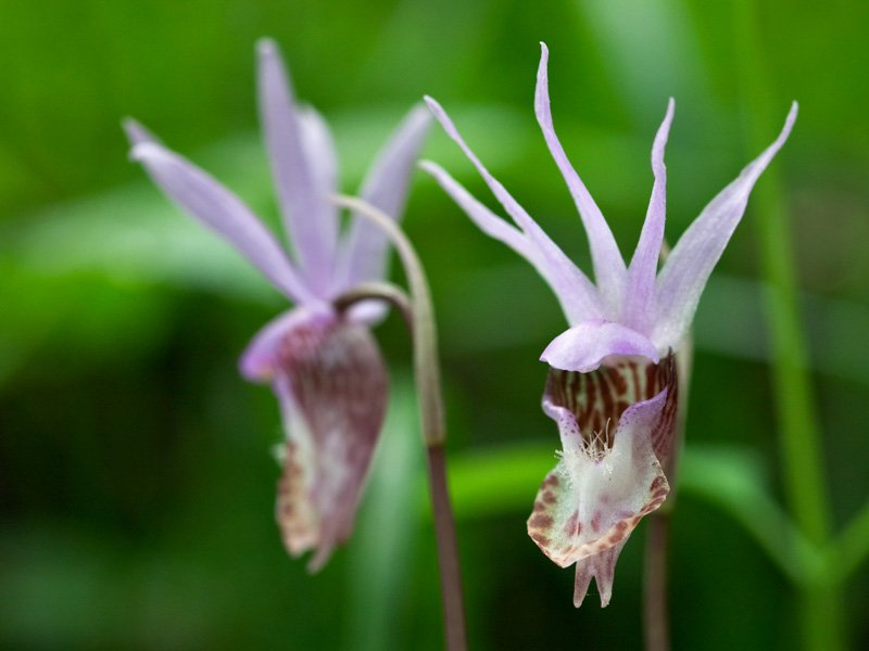 <i>Calypso bulbosa</i>, the fairy slipper