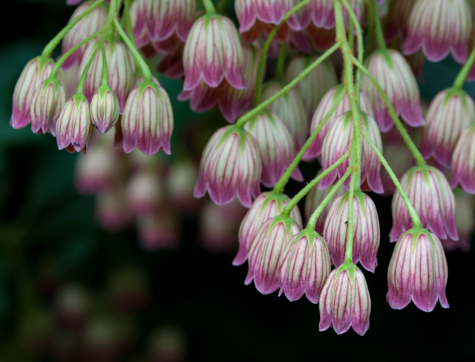 Close-up of <i>Enkianthus campanulatus</i> flowers