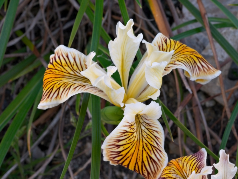<i>Iris innominata</i> in flower
