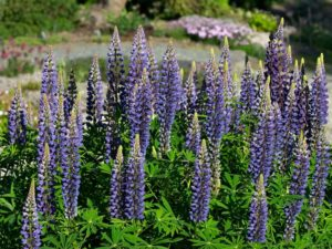 An unidentified Lupinus in UBC Botanical Garden