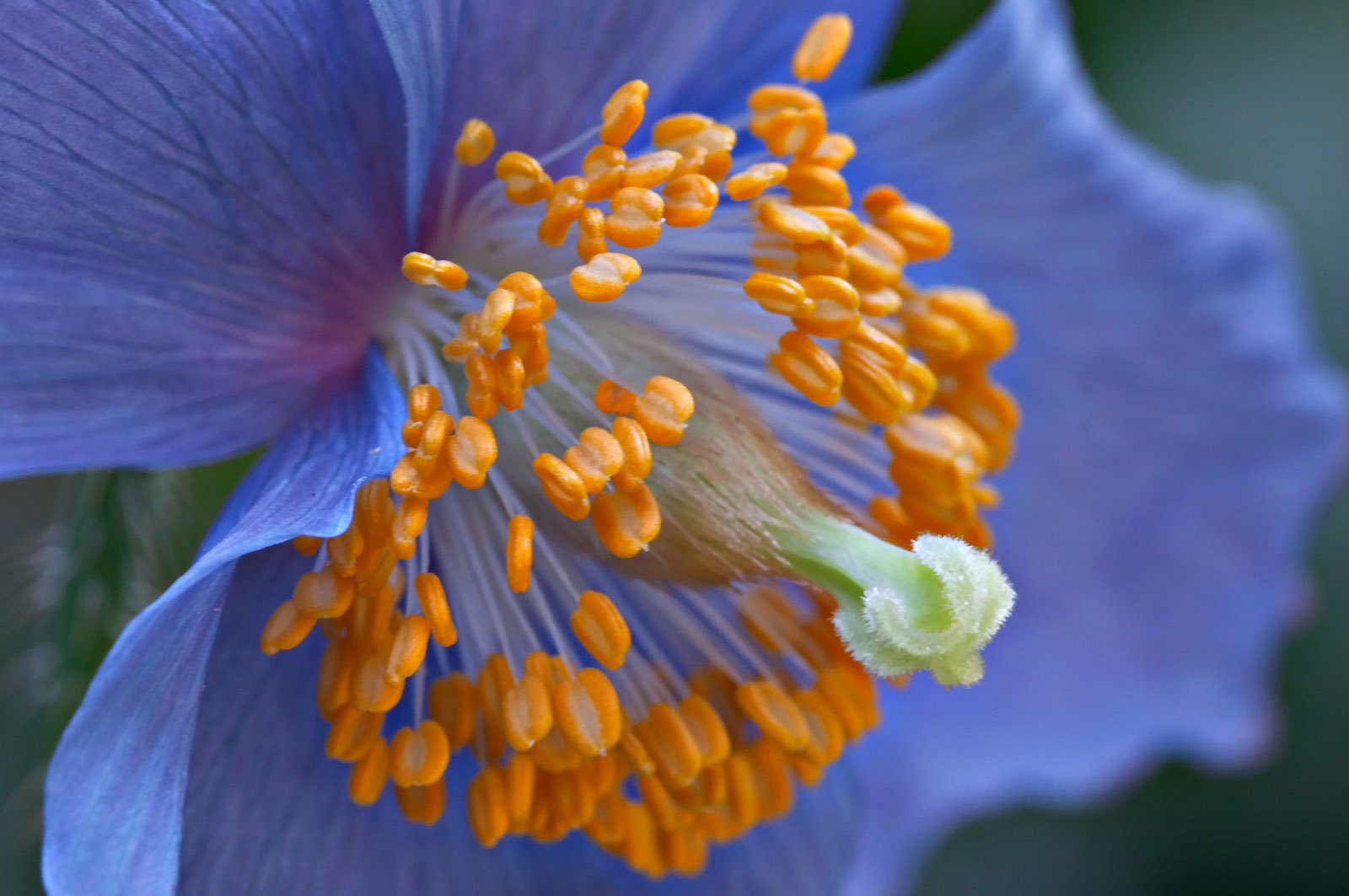 Close-up of <i>Meconopsis betonicifolia</i>
