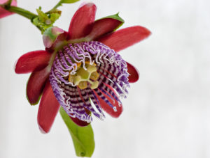 The highly-modified flower of Passiflora alata
