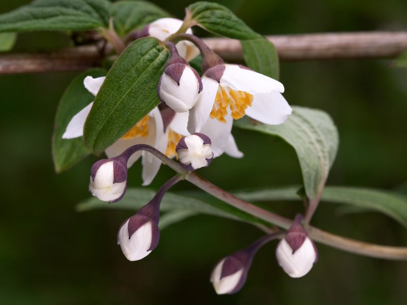 The flower of <i>Philadelphus delavayi</i>