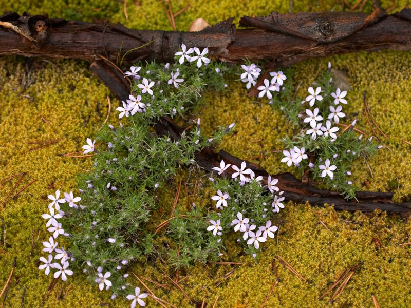 <i>Phlox diffusa</i> in BC's Manning Provincial Park