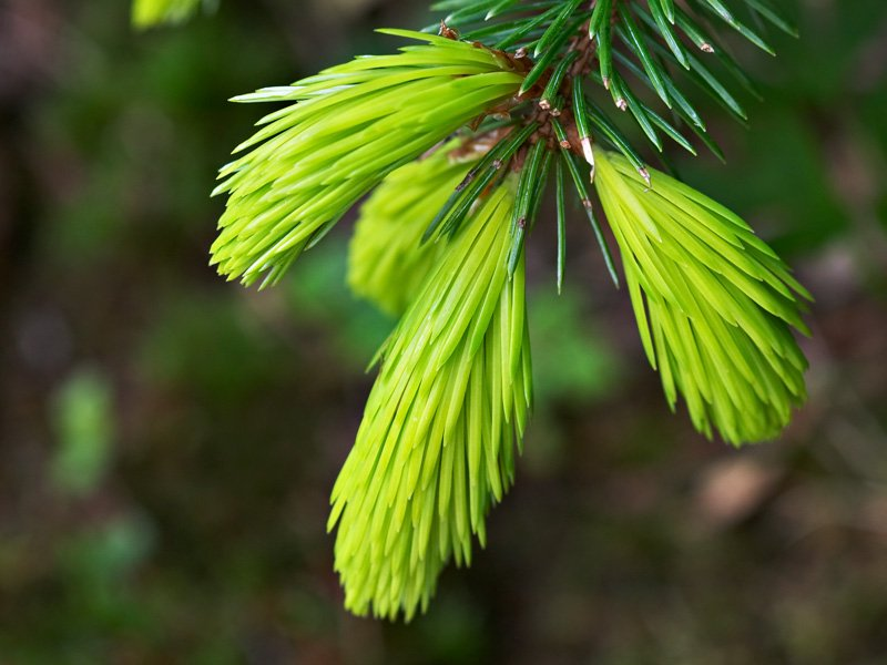 <i>Picea sitchensis</i> 'Bentham's Sunlight', the golden spruce