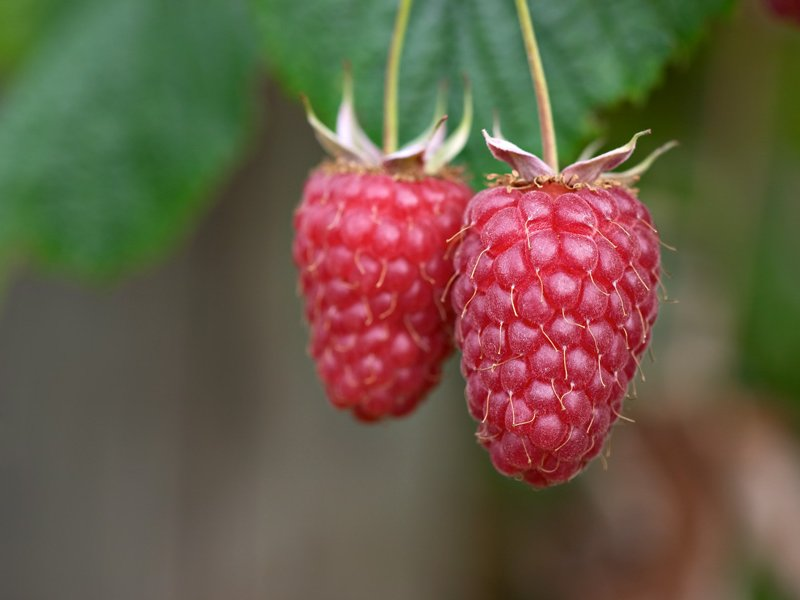 Fruits of Rubus idaeus 'Tulameen'