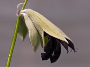 Close-up of Salvia discolor