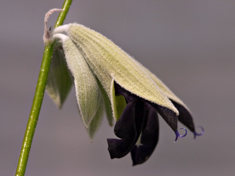 Close-up of <i>Salvia discolor</i>