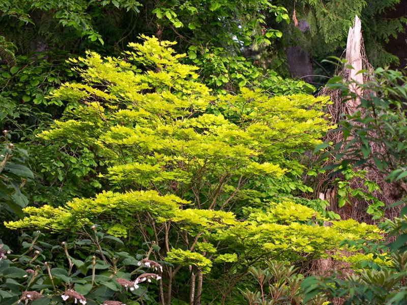 The foliage of <i>Acer shirasawanum</i> 'Aureum'