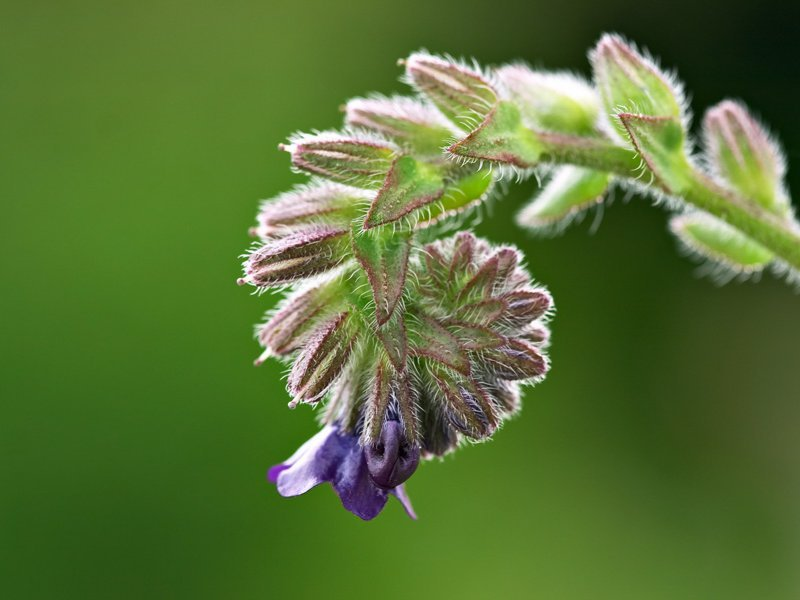 The helicoid cyme of <i>Anchusa officinalis</i>