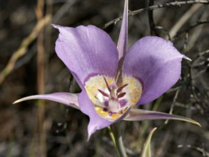 The flower of Calochortus macrocarpus