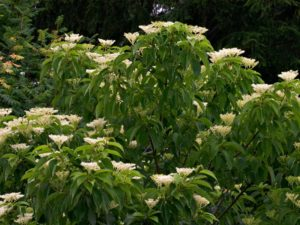 The horizontally-tiered branches of Cornus macrophylla