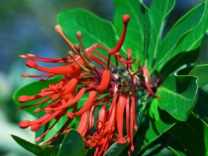 The Chilean fire bush, Embothrium coccineum