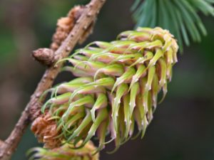 The developing cone of Larix griffithii
