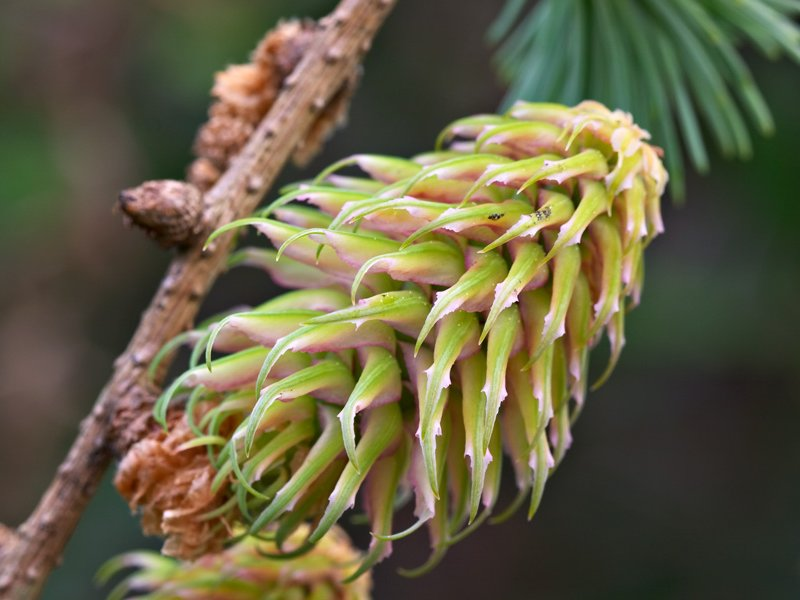 The developing cone of <i>Larix griffithii</i>