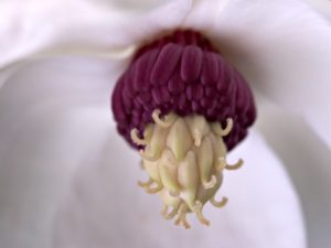 Extreme close-up of Magnolia sieboldii