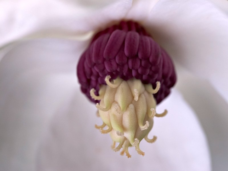 Extreme close-up of <i>Magnolia sieboldii</i>
