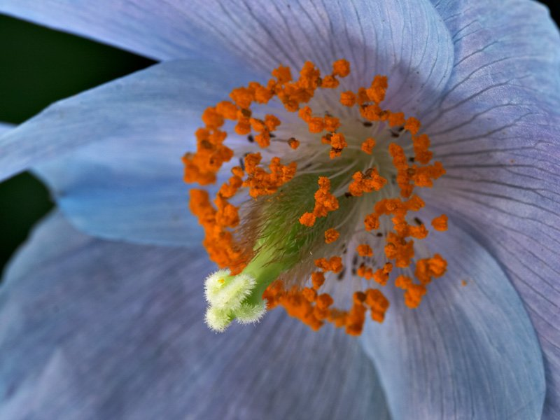 <i>Meconopsis betonicifolia</i> close-up
