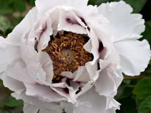 The large flower of Paeonia rockii