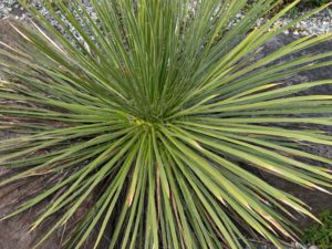 The foliage of Yucca baileyi