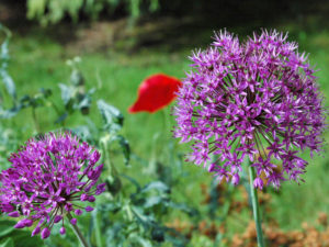 Flowers of Allium 'Globemaster'