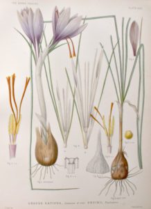 An illustration of Crocus sativus
