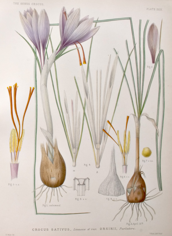 An illustration of <i>Crocus sativus</i>