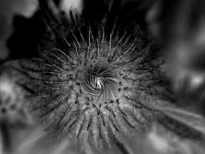 The developing capitulum of Inula magnifica