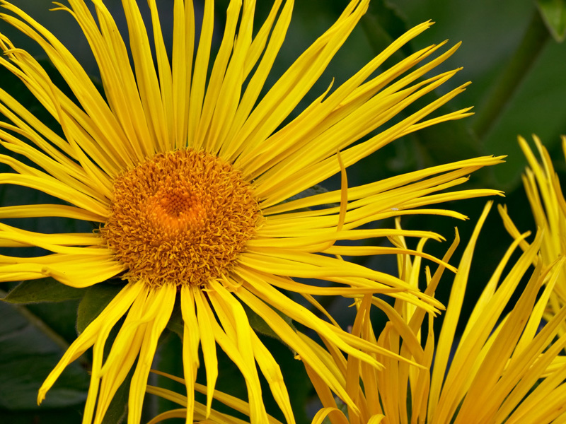 The inflorescence of Inula magnifica