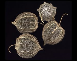 A scan of the fruit husks of a species of Physalis