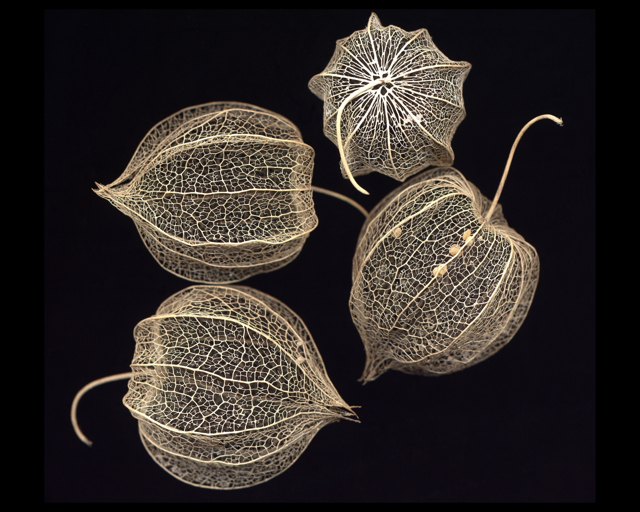 A scan of the fruit husks of a species of <i>Physalis</i>