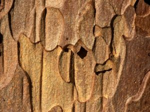 The bark of Pinus ponderosa