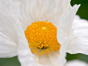 California's largest native flower, Romneya coulteri