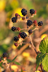 Fruits of Rubus armeniacus