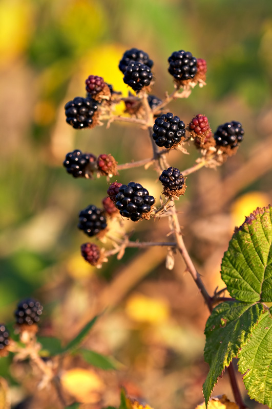 Fruits of <i>Rubus armeniacus</i>