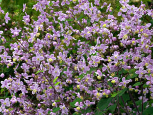 A mass of Thalictrum rochebruneanum flowers