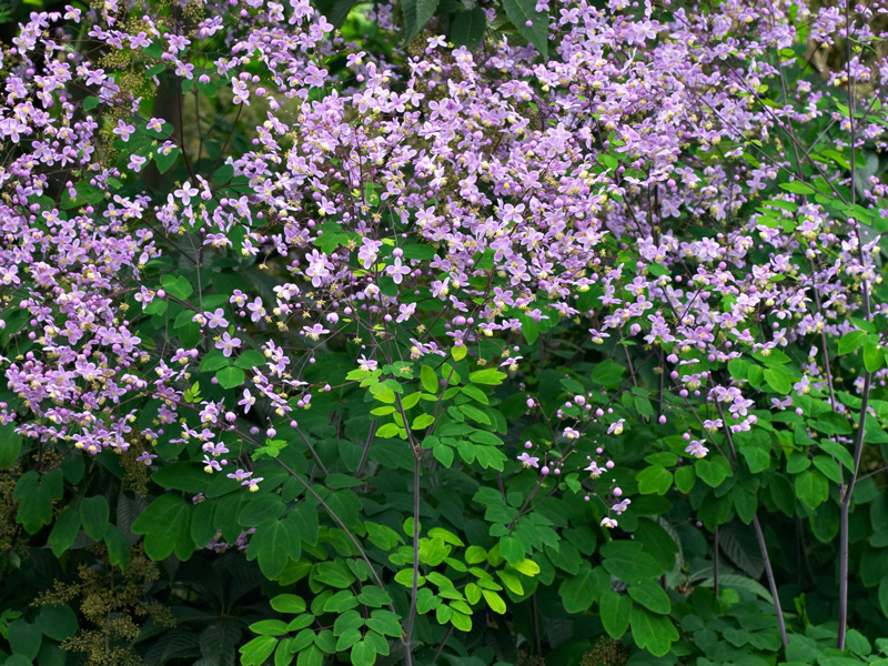 Thalictrum rochebruneanum flowers and foliage