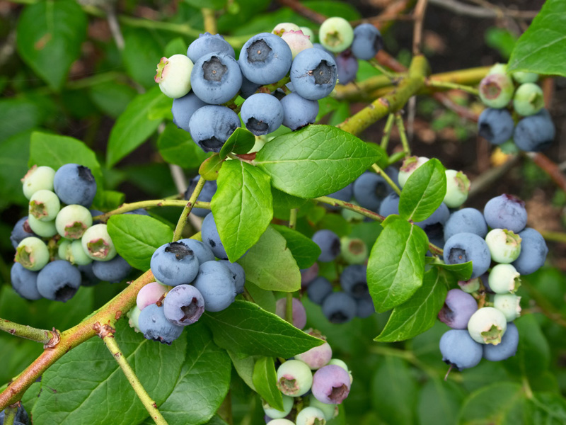 The fruits of <i>Vaccinium corymbosum</i> 'Northland'