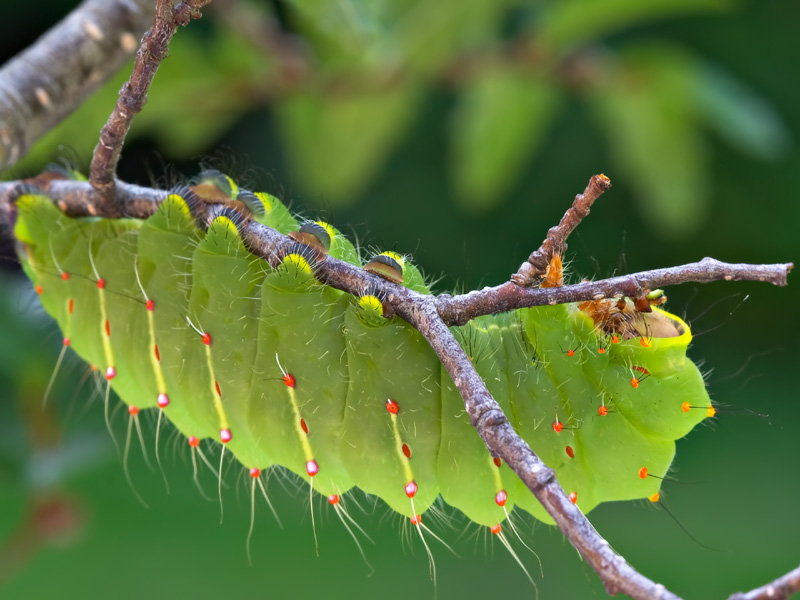 Caterpillar of Antheraea polyphemus