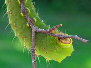 Close-up of Antheraea polyphemus caterpillar