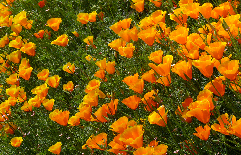 Clusters of Eschscholzia californica flowers