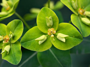 Flowers of Euphorbia sikkimensis