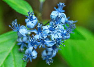 The blue flowers of Hydrangea febrifuga