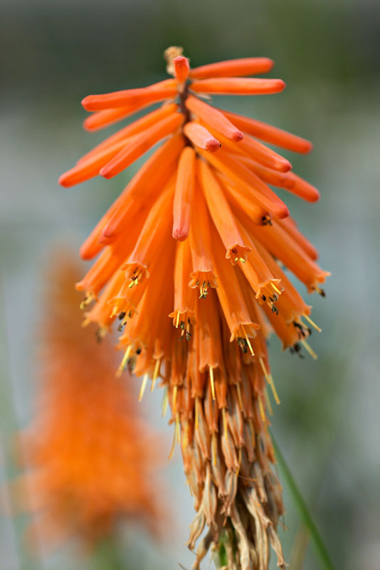 <i>Kniphofia triangularis</i> in UBC Botanical Garden