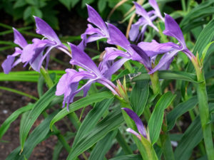 Roscoea sp. in flower in UBC's Asian Garden